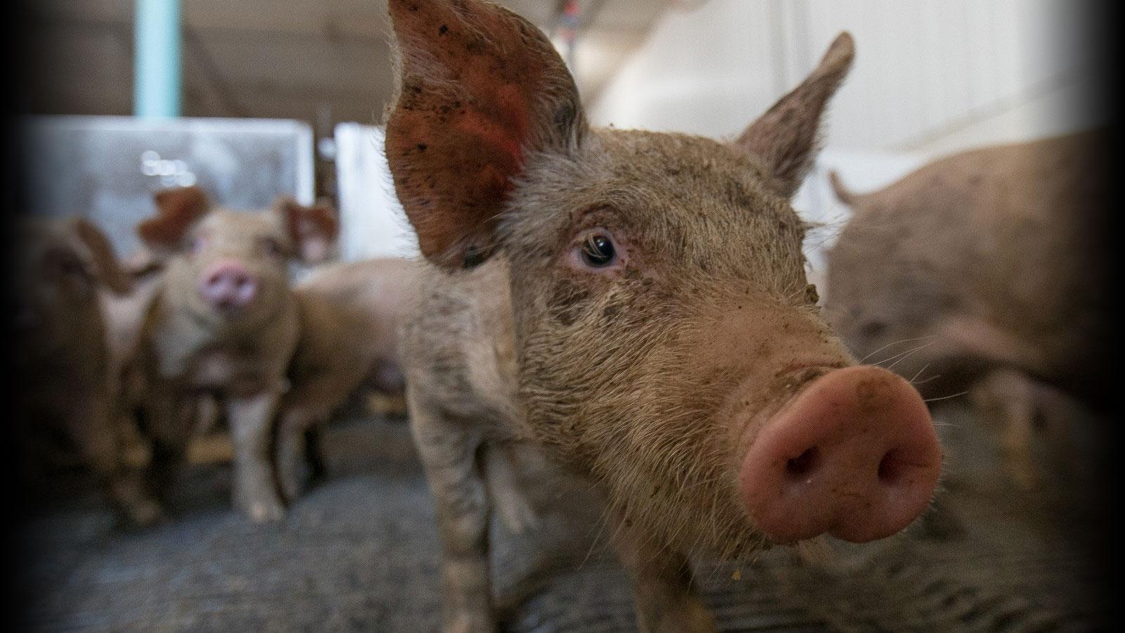 Communication Animale : des animaux dit de consommation parlent…